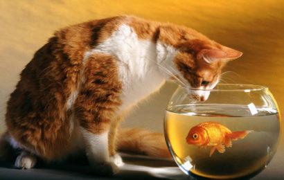 20 hình nền con mèo kèm hình ảnh bể cá làm hình nền cho máy tính