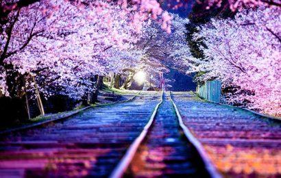 Bộ ảnh, hình nền hoa anh đào đỏ cực đẹp chào đón mùa xuân