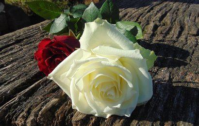 Top 50 hình ảnh và hình nền hoa hồng trắng đẹp đầy ý nghĩa