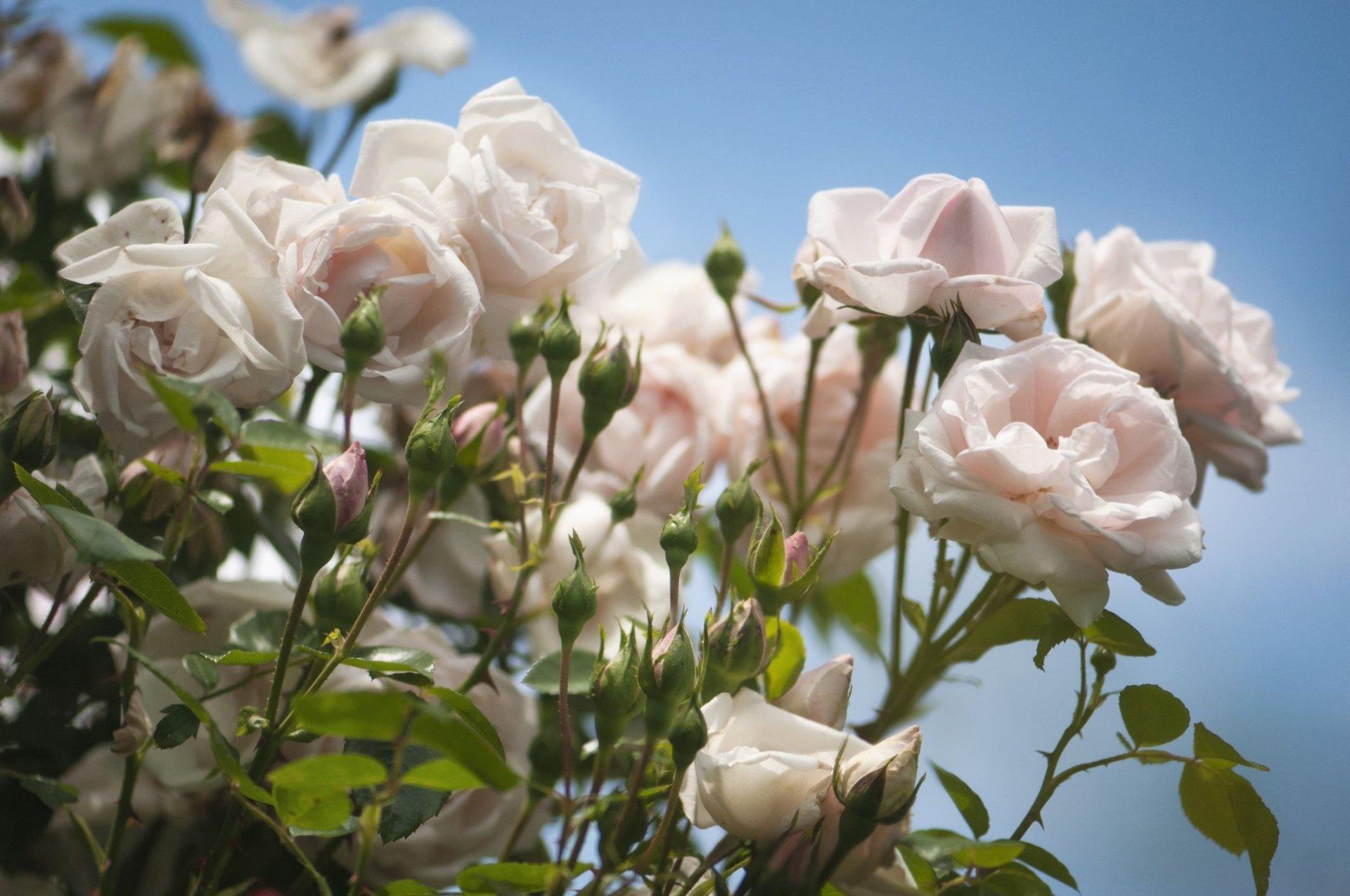 Tuyển tập hình ảnh hoa hồng trắng đẹp đầy ý nghĩa số 9
