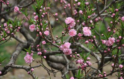 Top 20 ảnh bìa facebook hình ảnh hoa đào vào mùa xuân đẹp