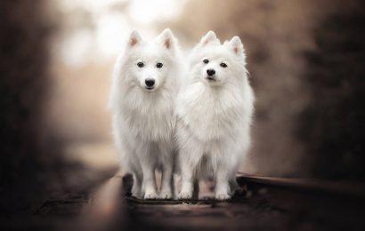 Tuyển tập top 30 hình nền động vật con chó Spitz Nhật dễ thương full hd