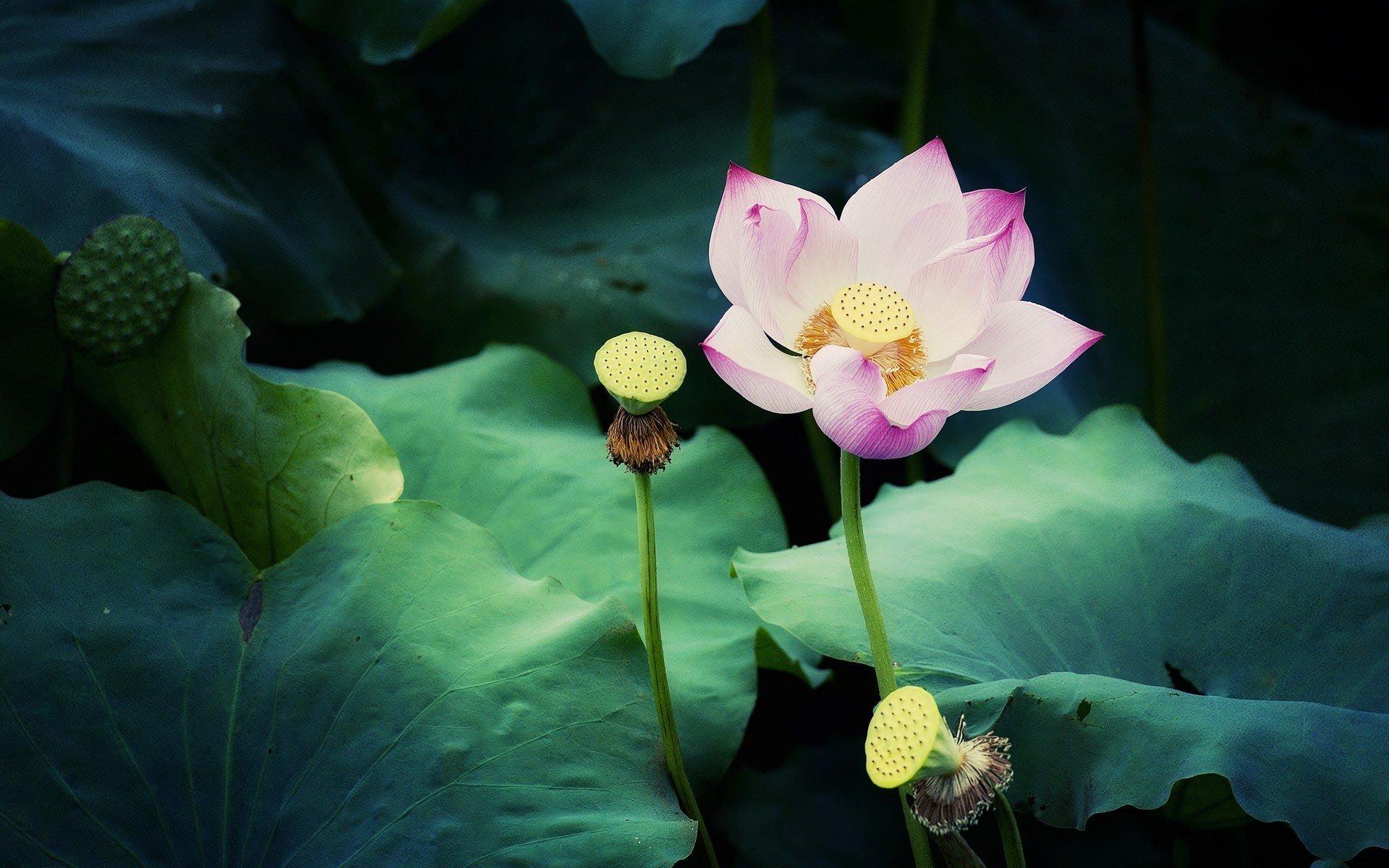 hình ảnh hoa sen đẹp mê lòng người chất lượng full hd số 11