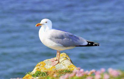 Bộ sưu tập 50 hình ảnh và nền động vật con Chim Hải Âu full hd