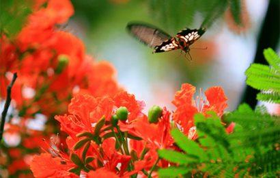 Bộ sưu tập 50 hình nền hoa phượng ngày hè đỏ rực rỡ mùa chia ly